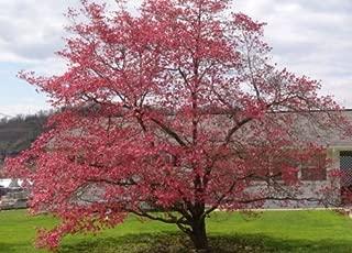 Best red dogwood cornus florida rubra Reviews