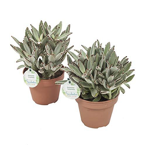 Panda Pflanze | 2 Pflanzen | Kalanchoe tomentosa | Zimmerpflanze | Höhe 28 cm | Topf 14 cm | einfache Wartung