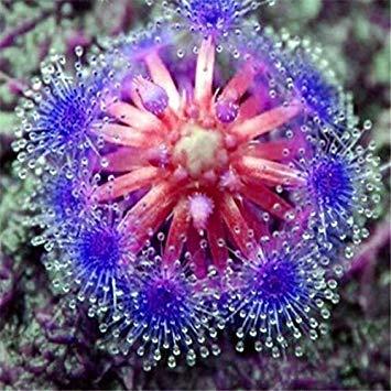 graines rossolis Bleu ensorceleuse Table Plante Carnivore Pot Drosera peltata Seeds 10 graines Protection Contre Les radiations