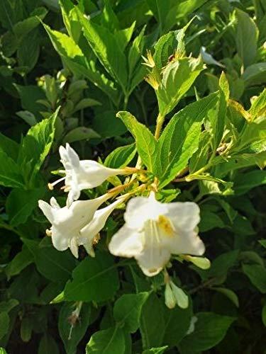 Späth Weigelie 'Snowflake' Heckenpflanze weiß blühend Zierstrauch schnellwachsend 1 Pflanze Container C 7,5