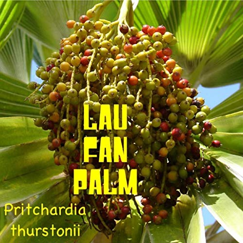~ LAU PALM FAN Pritchardia thurstonii NAIN fidjiens Palm Tree Paysage 50 graines