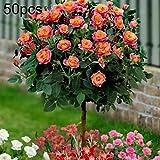 Steellwingsf Graines En Pot D'intérieur Et D'extérieur, 50 Pcs Parfumé Rose Arbre Graines Fleur Plantation Bonsaï En Pot Jardin Cour Décor Graines de rose 50pcs