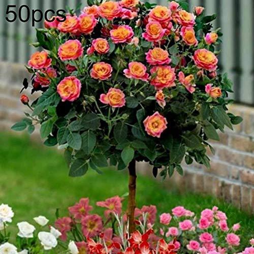 Lai-LYQ 50 Stks Geurige Roos Boom Zaden Bloem planten Potted Bonsai Tuintuin Decor