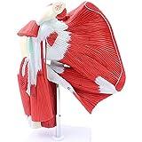 LBYLYH Articulación Humana con el Modelo de anatomía Muscular, Modelo de articulación con Modelo Digital de Hombros.