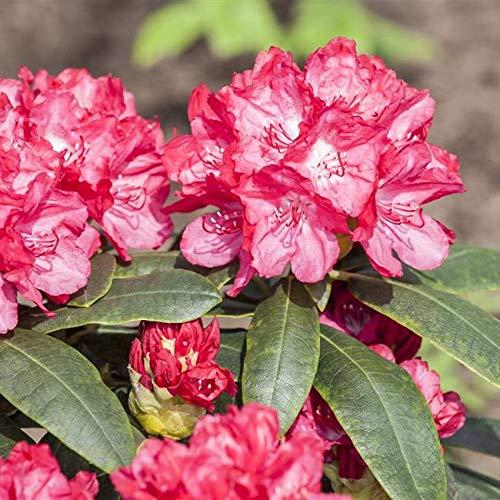 Rhododendron yak. Astrid Alpenrose 30-40cm im Topf gewachsen