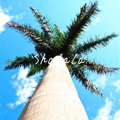 SANHOC 10 PC Weinflasche Palmen-Bonsais Seltene Hyophorbe lagenicaulis Bonsai-Baum Tropische Pflanzen für Haus Garten Bepflanzung Dekoration Pflanze: 11