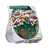 Botanische Krokusse gemischt 100 Stück Crocus Blumenzwiebeln
