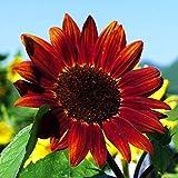 TOYHEART Semillas De Flores De Primera Calidad, 1 Bolsa De Semillas De Girasol Hermosa Flor Útil, Pequeña, Fácil De Germinar Semillas De Bonsái Para Jardín rojo