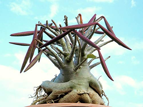 Adenium Arabicum SHADA désert pachycaule rose cactus bonsaï graines de caudex 5 graines