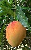 Haritham Exotic Alphonso Mango Plant (ratnagiri) Grafted 1 Healthy Live Plant
