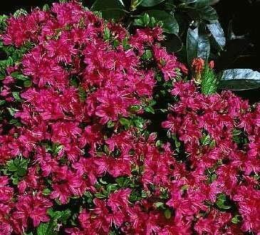 Azalea japonica Excelsior - japanische Azalee Excelsior