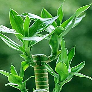 semillas de bambú de la suerte, balcón en maceta, la siembra es simple, en ciernes tasa de 95%, la absorción de la radiación, colores mezclados - 20pcs / lot