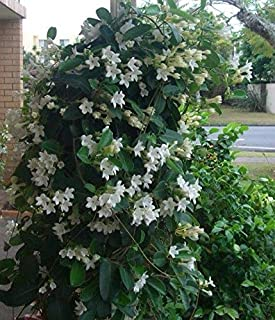 Stephanotis floribundas (madagascan Jasmine) Fresh 2018 Seeds, Free Post in aust