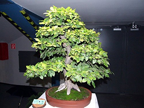 Carpino bianco 20 Semi-Carpinus betulus-Arbusto/albero