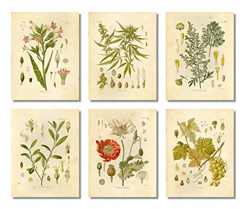 Ink Inc. Psychoactive Plants Botanische Zeichnungen Vintage Kunstdrucke, Set von 6, 20,3 x 25,4 cm, ungerahmt, Cannabis Coca Opium Mohnblume Tabak Wermut Trauben