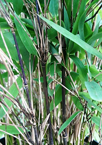 Schwarzer Bambus - Fargesia nitida Black Pearl - keine Wurzelausläufer - schnell wachsend - winterhart (80/100 cm hoch)