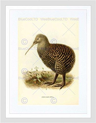 Wee Blauwe Coo Tekenen Vogel Rowley Keulemans Grote Gespot Kiwi Ingelijste Muur Art Print