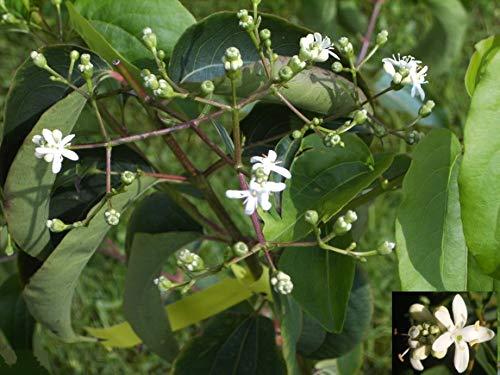 Heptacodium miconioides - Sieben Söhne des Himmels Strauch - reichblühend - duftend