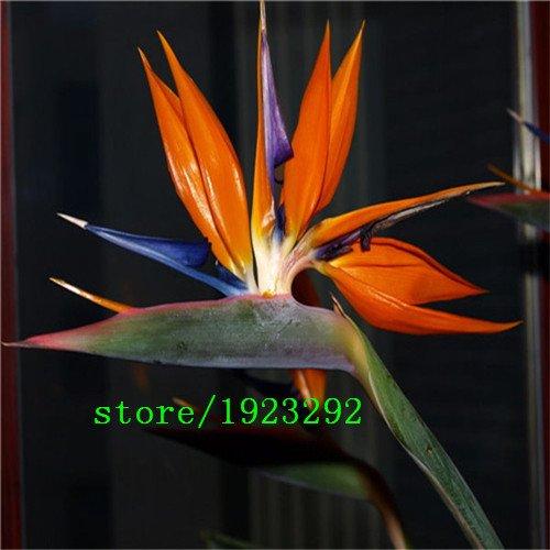 Strelitzia reginae graines de pots de fleurs jardinières Toutes sortes de couleur hybride oiseau paradis Bonsai plantes Graines 100pcs