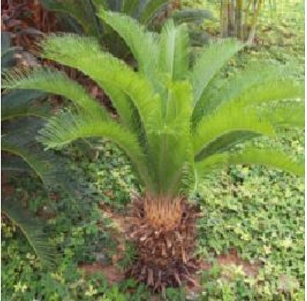 Livraison gratuite 100pcs / sac, graines Cycas, graines en pot, graines de fleurs, variété complète, le bourgeonnement taux de 97%