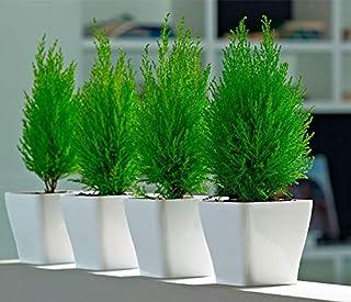 Creative Farmer Live Plant Morpankhi, Thuja Compacta Plants for Home Decor Indoor Occidentalis (1 Live …Exotic Plant)