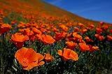 Semillas de flores Pinkdose®: Semillas de plantas de amapola californianas - Paquete de semillas de flores de jardín por