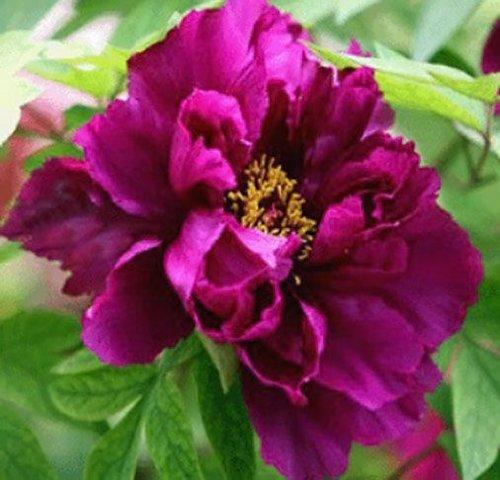 10 pcs/sac graines de pivoines Terrasse Cour Jardin Paeonia Suffruticosa Graines de fleurs vivaces plantes en pot pour le jardin de la maison 2