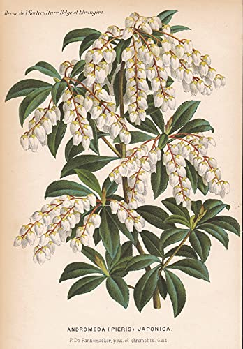 Andromeda (Pieris) Japonica - Japan flower Blume Blumen botanical Botanik Botany