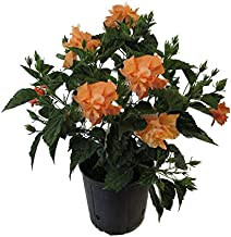 AMERICAN PLANT EXCHANGE Hibiscus Live Plant, 3 Gallon, Double Peach Bloom