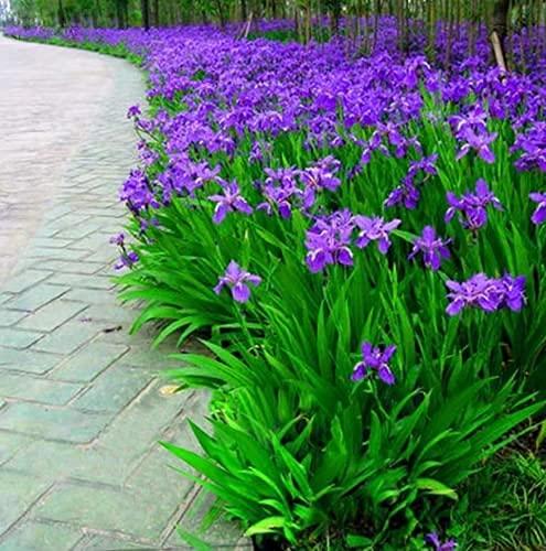 (50 Seeds) Blue Iris Flowers Seeds,Perennial Plant Seeds,IRIS Home Garden...