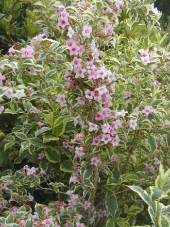 buntblättrige Weigelie Weigela florida Nana Variegata 40 - 60 cm hoch im 3 Liter Pflanzcontainer
