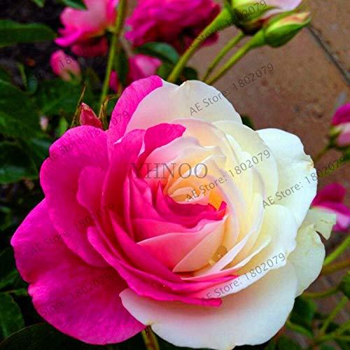 SEED pour la plantation crème fleur rose Rose SVI frais