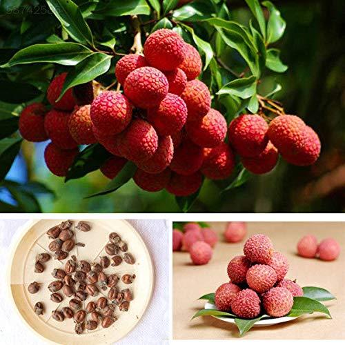 ScoutSeed 90D1 10x Süße Litschi Litschi Subtropischer Obstbaum Samen Hinterhof Pflanzen GUS