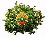 Tropic-Shop.de Golliwoog - Golliwoog Ampel - Futterpflanze für Bartagamen, Vögel, Meerschweinchen, Kaninchen (8 Stück)