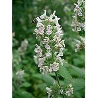 Asklepios-seeds® - 5000 Semillas de Nepeta cataria gatera, hierba de los gatos, menta gatuna, albahaca de gatos, hierba gatera, gataria, nébeda, albahaca, albahaca de gatos
