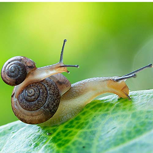 Baby Snail and Mama Snail Live Land Milk Snail Otala Lactea – Breeder Quarter Sized Live Snails for Aquarium – Snail Pets – Free Calcium for Snail Shells and CareGuide – Free Fast 2-5 Day delivery