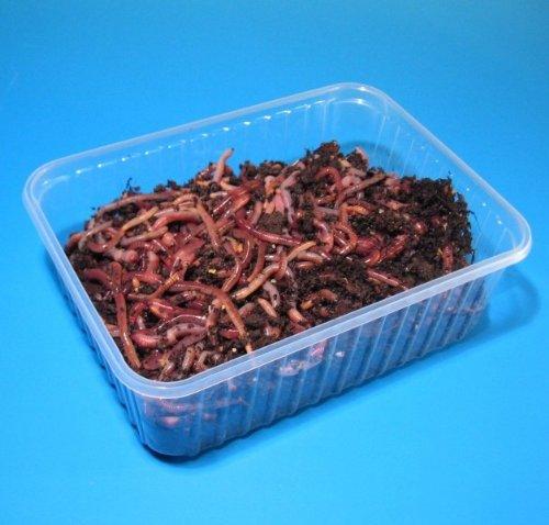 natursache.de Angelwurm - Dendrobena - Riesen-Rotwürmer, Lebendköder, Regenwürmer Lebend, Würmer, Anzahl:200 STK./Box