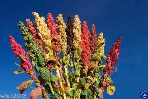 Chenopodium Quinoa Pflanze Samen- Regenbogen -Hot rosa Rot, Orange, Gelb, Weiß, Grün,