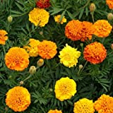 African Marigold - 100 seeds - Tagetes erecta - Double Mixed - ANNUAL FLOWER