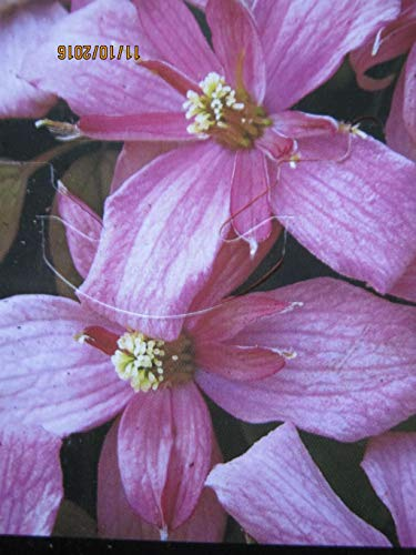 Clematis montana Pink Starlight - Berg-Waldrebe Pink Starlight