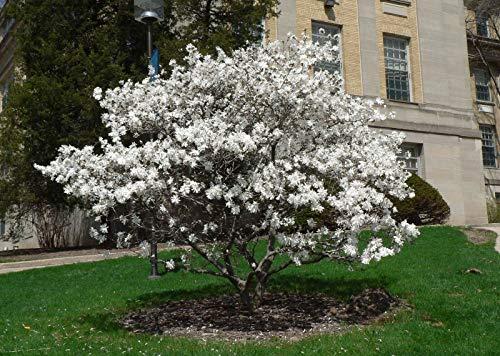 Pianta di Magnolia Stellata in vaso ø18 cm h.70/80 cm