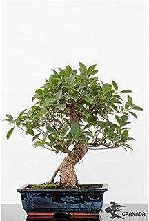Bonsai Ficus retusa 10 años