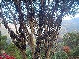 観賞用植物プリニアCauliflora盆栽100個ファミリーフトモモ科ジャボチカバ果樹工場ブラジルのブドウの木:2