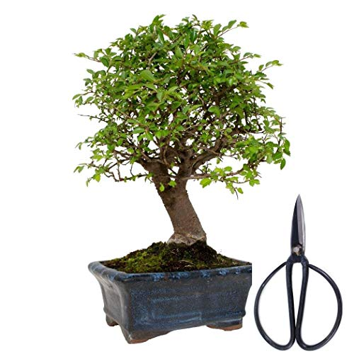 Bonsai Zelkova 5 años + Tijera 120 mm
