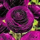 レアルラナンキュラス球根、ラブリー鉢植えの花の球根を、(ラナンキュラス種子)、多年生球根ルート庭の植物は、 - 1個12