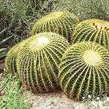 PLAT FIRM Germination Seeds PLATFIRM-Golden Barrel Cactus Seeds (Echinocactus grusonii) 25+Seeds (25 Seeds)