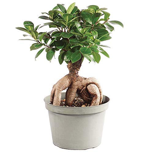 Brussel's Bonsai Live Gensing Grafted Ficus Indoor Bonsai Tree - 6 Years Old 8' to 12' Tall with Plastic Grower Pot, Medium,