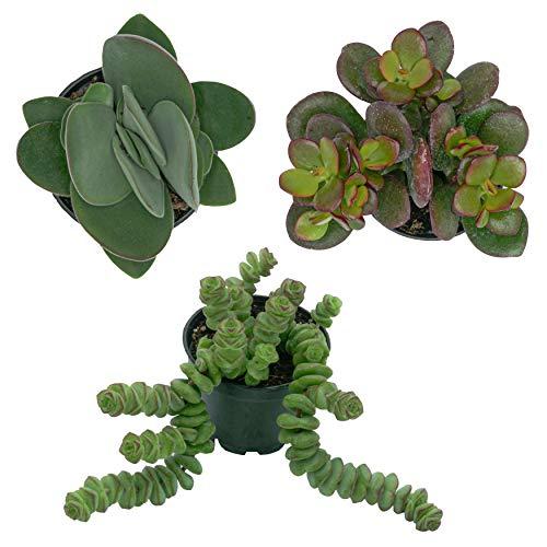 Pasiora Crassula- Mix im 6cm Topf, verschiedene kleine Pflanzen, Geschenkset (3 Stück)