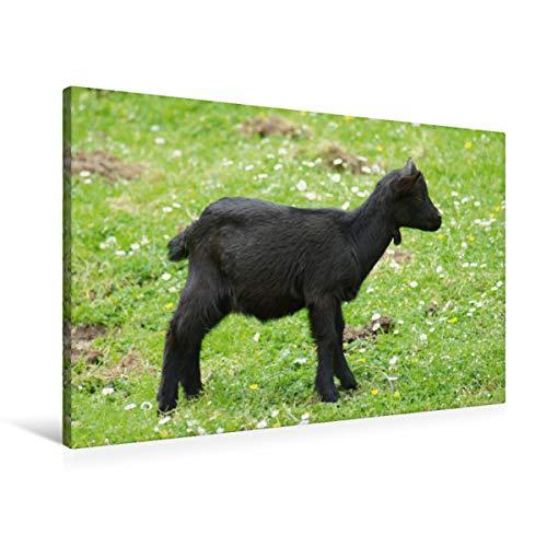 Calvendo Premium Lienzo 90 cm x 60 cm Horizontal, Cabras enanas Negras, bebé, Cuadro sobre Bastidor, Listo para Lienzo auténtico, impresión en Lienzo: Cabras y Animales Animales Animales