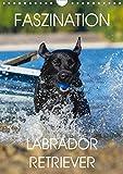 Faszination Labrador Retriever (Wandkalender 2021 DIN A4 hoch)